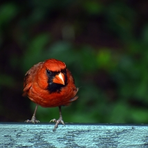 DSC_Cardinal6
