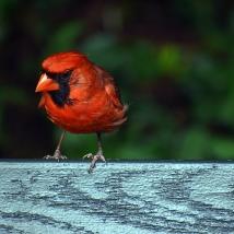 DSC_Cardinal8